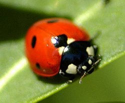 comptine coccinelle
