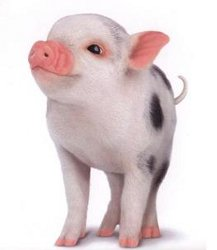 comptine cochon